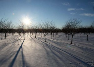 Snow in the Orchards